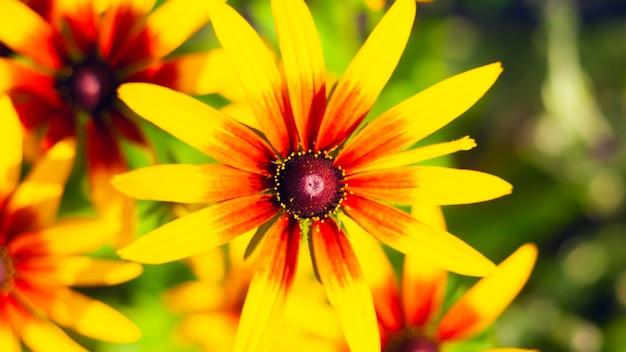 Primer Plano De Crisantemo Flores De Primavera De Color Rojo Amarillo Plantas Para Decorar El Jardín Y Parterres Foto Premium