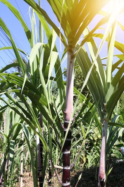 Primer plano de las plantas de caña de azúcar en el crecimiento en ...