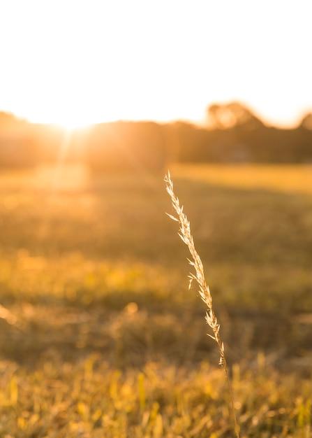 Primer plano de especias de trigo con hermosa puesta de sol Foto gratis