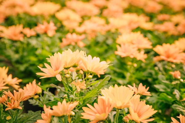 Primer plano de flores de crisantemo amarillo en flor Foto gratis