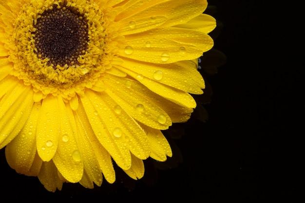 Primer plano de flores de gerbera amarilla con pétalos Foto gratis