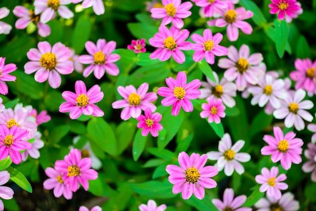 Primer plano de flores de zinnia Foto Premium