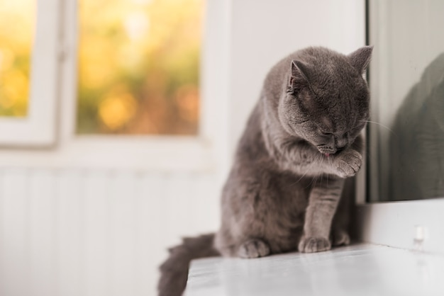 Primer plano de gris británico shorthair gato limpieza a sí mismo Foto gratis