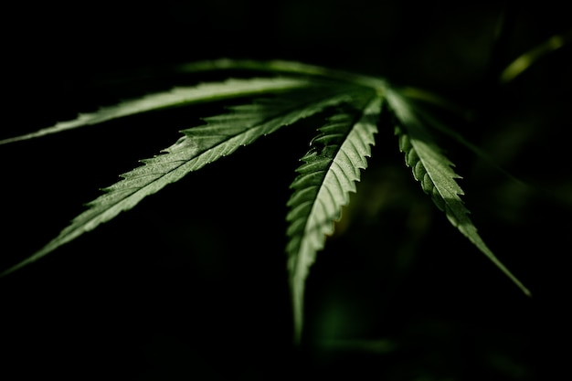 Primer plano de hoja de marihuana cannabis Foto gratis
