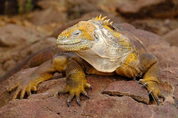 Primer plano de una iguana amarilla sobre una roca mirando hacia la cámara con fondo borroso Foto gratis