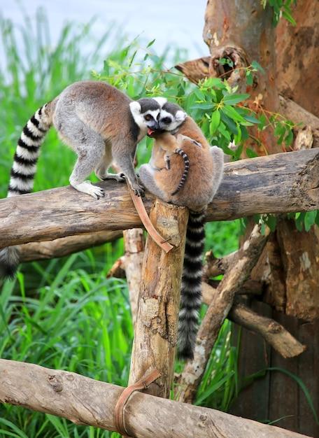 Primer plano de una linda familia de lemur de cola anillada Foto Premium