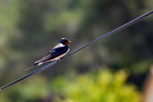 Primer plano de una linda golondrina en un cable Foto gratis