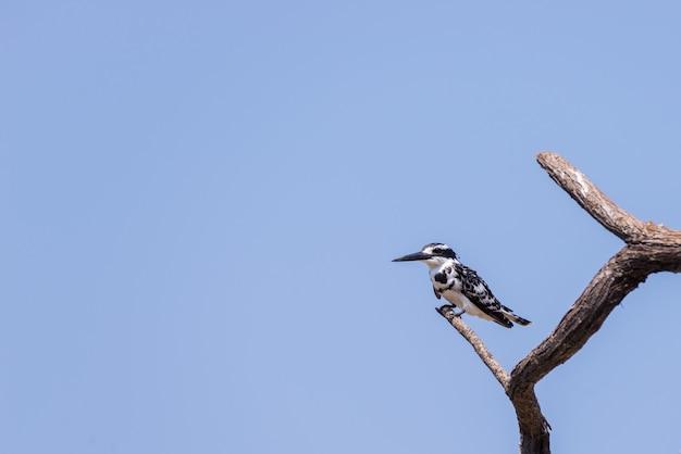Primer plano de un lindo martín pescador blanco y negro encaramado en una rama de árbol de acacia. vista de telefoto desde abajo contra el cielo azul claro. Foto Premium