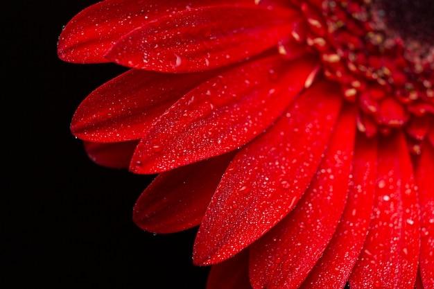 Primer plano de la mitad de los pétalos de gerbera margarita flor Foto gratis