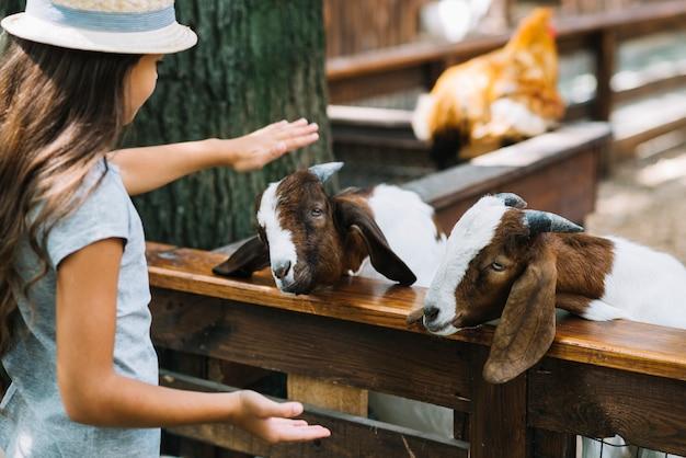 Primer plano de una niña acariciando cabras en el granero Foto gratis