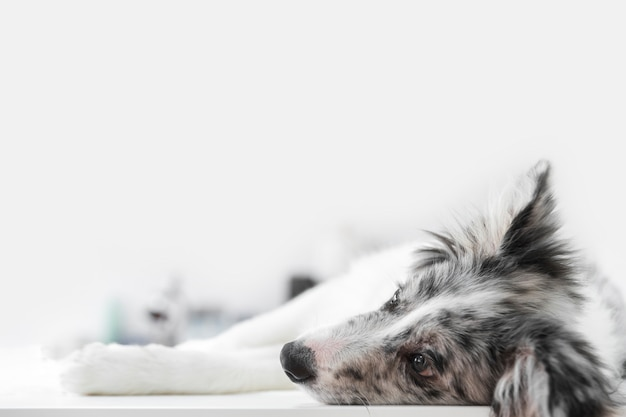 Primer plano de un perro enfermo acostado en la mesa en la clínica veterinaria Foto gratis