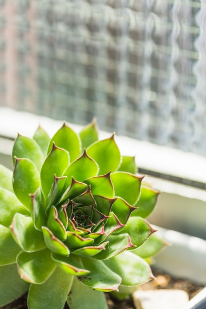 Primer plano de la planta verde suculenta Foto gratis