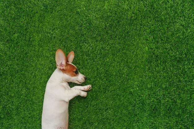 Puppy jack russel terrier, tumbado en la hierba verde. Foto Premium