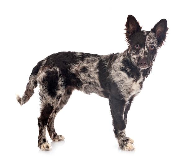 Puppy mudi Foto Premium
