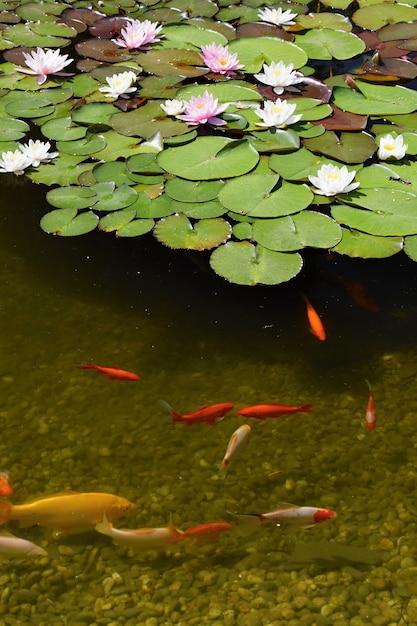 Pescado en el estanque con waterlilies descargar fotos - Peces koi precio ...