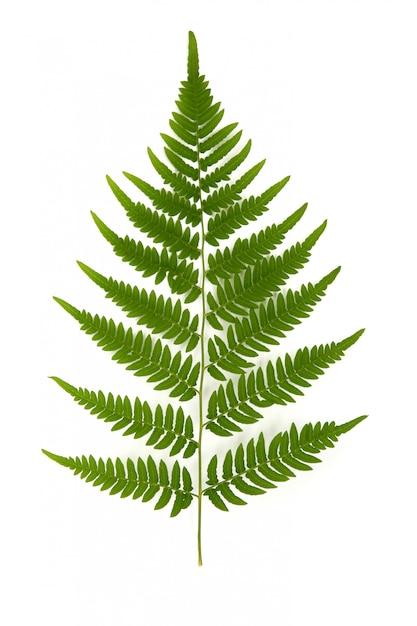 Rama verde del helecho forestal en blanco Foto Premium