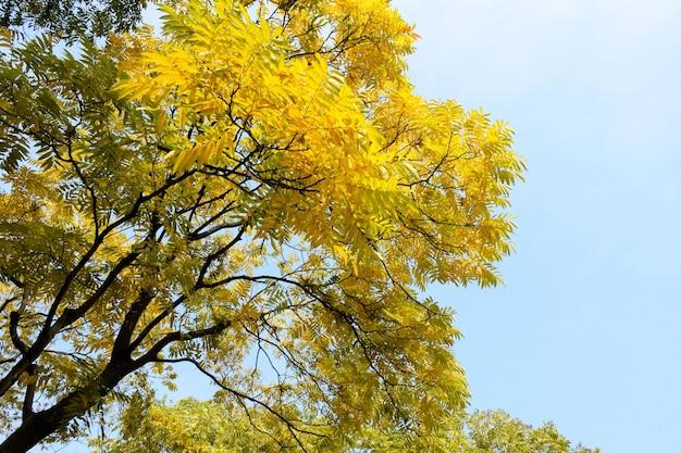 Ramas De árboles Con Hojas Amarillas