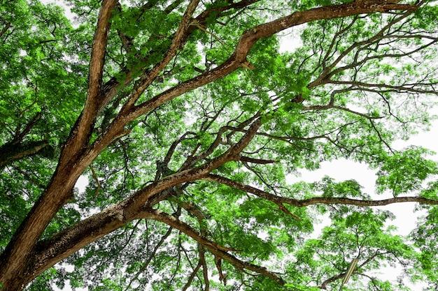 ramas de rbol grande rbol viejo con hojas verdes de