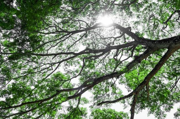 Ramas De árbol Grande, árbol Viejo Con Hojas Verdes De