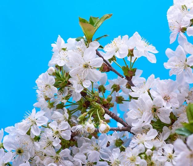 Ramas floreciendo cereza blanca Foto Premium