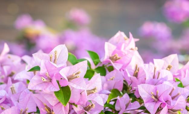 Ramillete de flores violetas, buganvillas. | Foto Premium