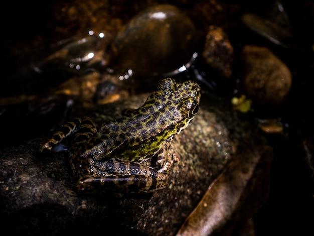 Rana arbórea común o rana arbórea de oro en roca cerca del agua de la cala de la corriente de la montaña que fluye en un bosque. Foto Premium