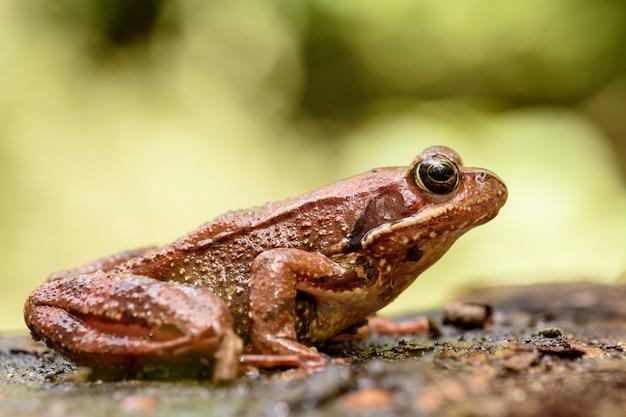 Rana común europea, rana temporaria. Foto Premium