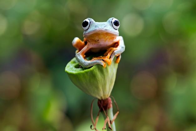 Rana voladora, rhacophorus reinwardtii, rana arbórea de java Foto Premium