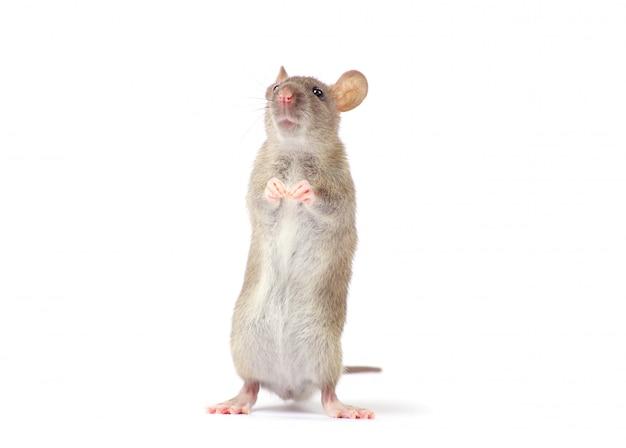 Rata aislada en blanco Foto Premium