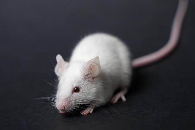 Rata divertida aislada en negro Foto Premium
