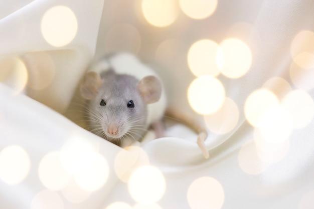 Rata gris-blanca sobre un fondo de focos amarillos Foto Premium
