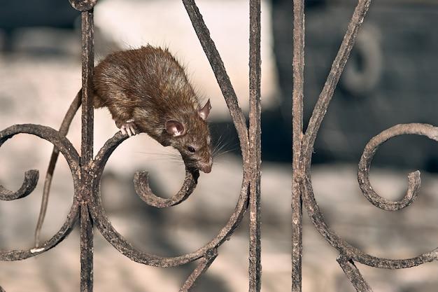 La rata marrón sube la cerca del templo. Foto Premium