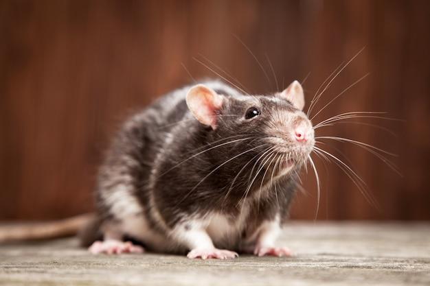 Rata mascota Foto Premium
