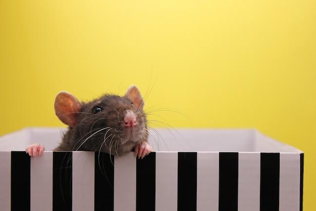 Una rata negra se asoma fuera de la caja. el concepto del año de la rata. Foto Premium