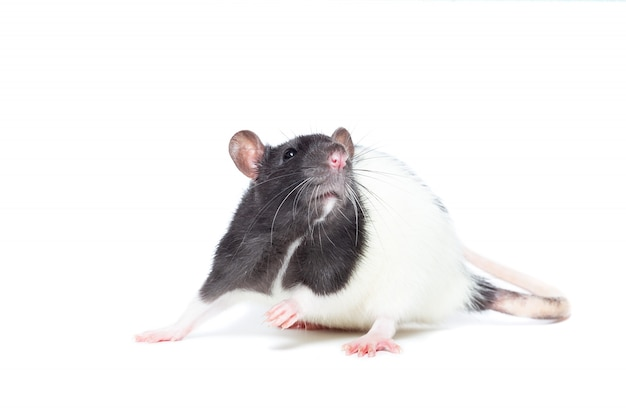 Rata sobre fondo blanco Foto Premium