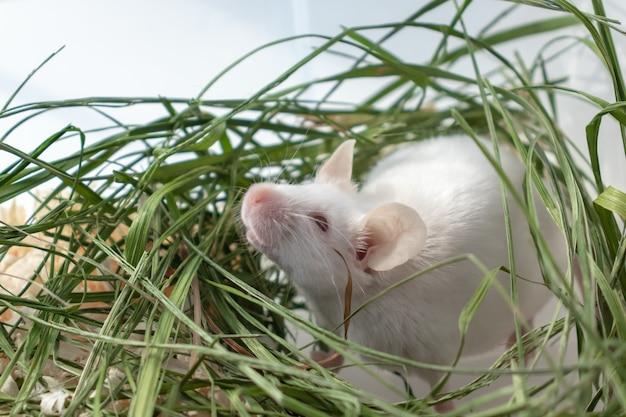 Ratón de laboratorio albino blanco sentado en la hierba verde seca Foto Premium
