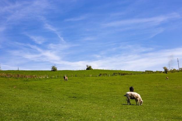 Rebaño de vacas que pastan en los pastos durante el día Foto gratis
