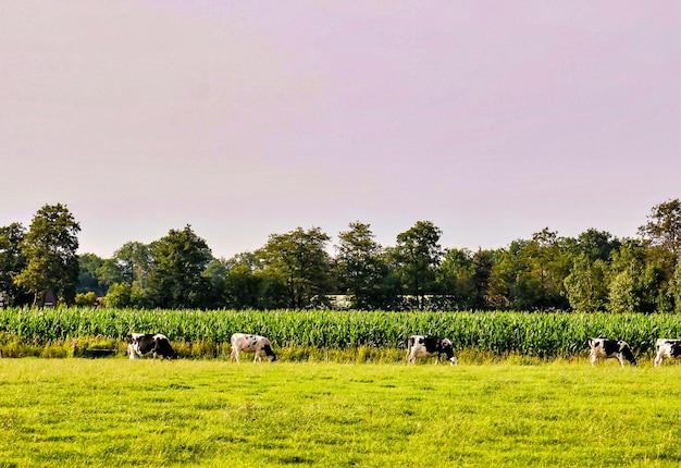 Rebaño de vacas que pastan en los pastos con hermosos árboles verdes en el fondo Foto gratis