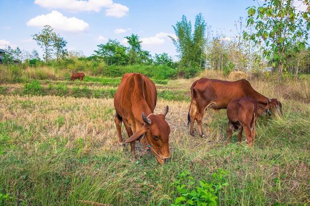 Rebaños de vacas y terneros pastan en medio de un campo Foto Premium