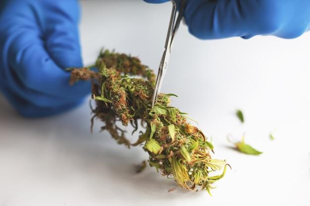 Recorte y manicura de cogollos de cannabis. corte de hojas de marihuana con tijeras en guantes médicos. Foto Premium