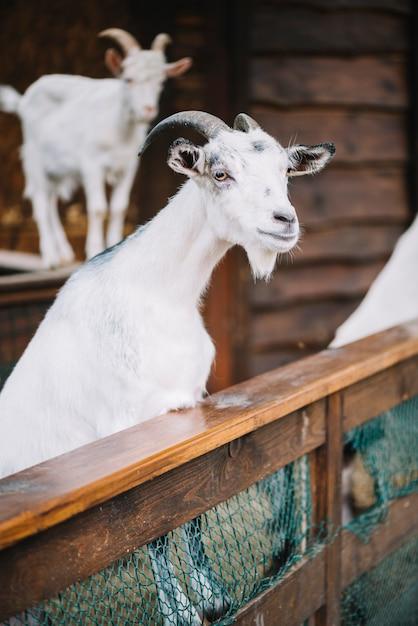 Retrato de una cabra blanca en el granero Foto gratis