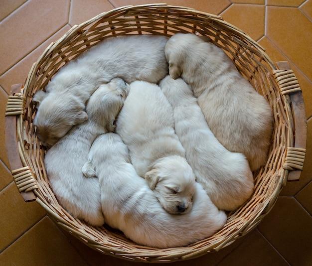 Retrato de una camada de un adorable golden retriever cachorros o bebés durmiendo en una canasta de mimbre Foto Premium