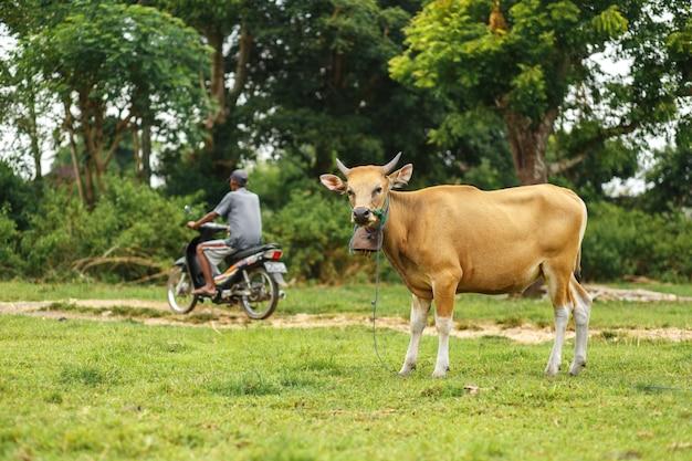 Retrato de color marrón balinés vaca pastando en un prado Foto Premium
