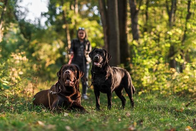 Retrato de dos labrador negro y marrón en el parque con dueño de mascota Foto gratis