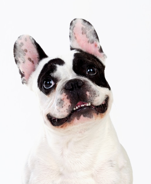 Retrato en estudio de un lindo bulldog Foto Premium