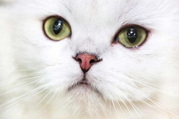 Retrato de un gato de bosque noruego Foto Premium