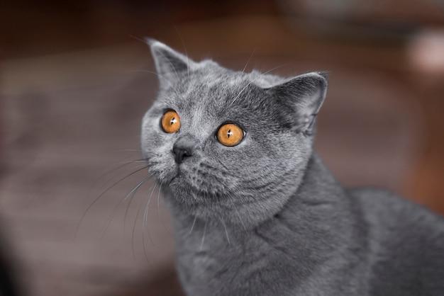 Retrato de gato gris de pelo corto británico Foto gratis