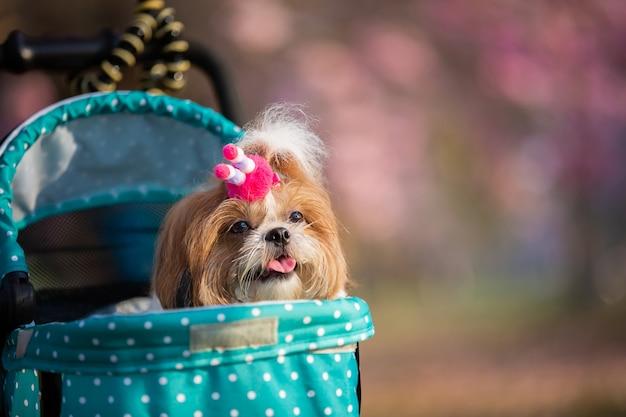 Retrato hermoso de la primavera del perro de shih tzu en el parque floreciente del rosa de la flor. Foto gratis