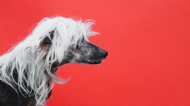 Retrato de lado de un cachorro crestado chino Foto gratis