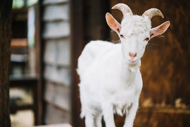 Retrato de una linda cabra bebé en el granero Foto gratis